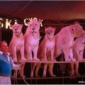 lwy w cyrku zalewskim